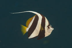 BD-111123-Raja-Ampat-4997-Heniochus-acuminatus-(Linnaeus.-1758)-[Pennant-coralfish.-Piskfisk].jpg